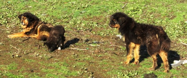 Yak Dogs of NE Bhutan