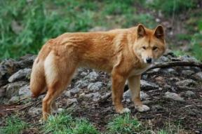 Canis_lupus_dingo_-_cleland_wildlife_park