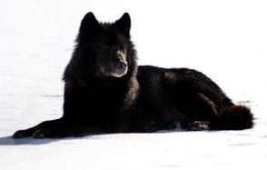 Romeo-the-black-wolf-of-Alaska